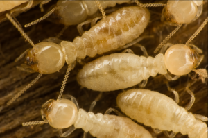 termites-1024x678